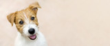 Fototapeta Animals - Happy smiling jack russell terrier dog pet puppy - web banner with copy space