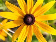 Black Eyed Susan Flower Close Up. Rudbekia