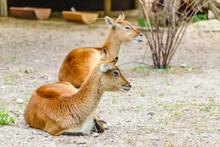 Red Lechwe Antelope Kobus Lech...