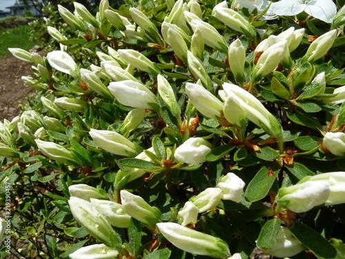 Foto op Aluminium Azalea 開花直前の、白いツツジの蕾(山形県)