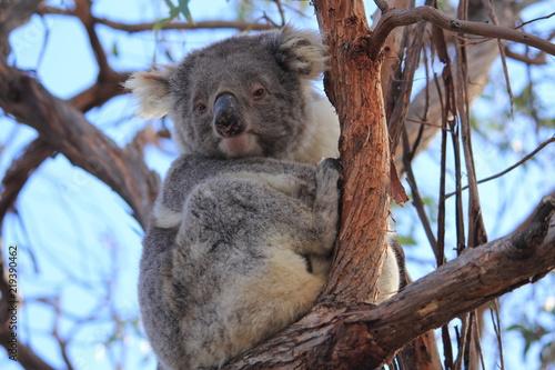 Garden Poster Koala koala on gum tree in Gippsland Lakes