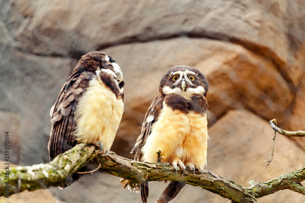 A spectacled owl bird with a funny stare. Two chicks sitting on a brunch