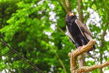 Bateleur Buffoon Eagle, Or Ter...