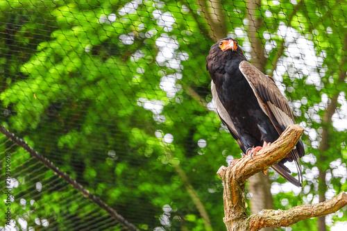 Foto Bateleur buffoon Eagle, or Terathopius ecaudatus
