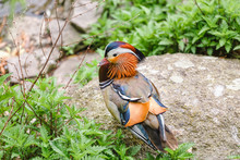 Colorful Mandarin Duck On A St...
