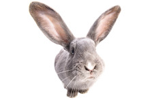 A Curiouse Rabbit Portrait. Cu...
