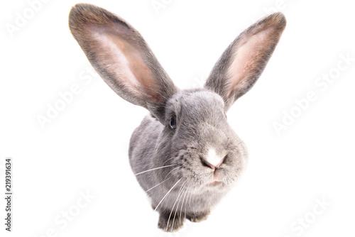 Obraz na plátně A curiouse rabbit portrait