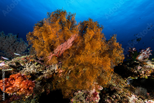 sea fan or gorgonian on the slope of a coral reef with visible water surface and fish and woman diver