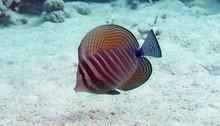 Sailfin Tang - Zebrasoma Desjardinii