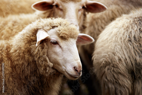 Staande foto Schapen Sheep muzzle outdoors. Standing and staring breeding agriculture animal
