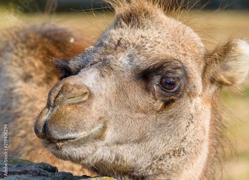 portrait of a camel close-up