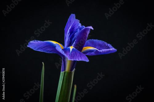 Iris Iris