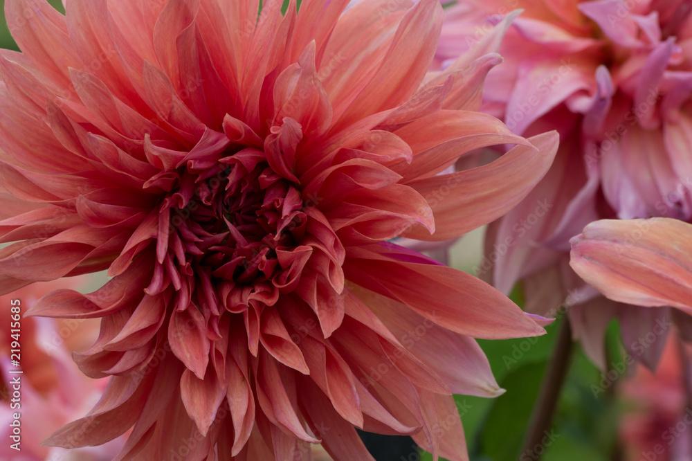 Photo Art Print Fleur Dahlia En Couleur Rose Et Blanc En