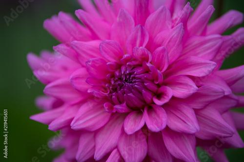 Fleur Dahlia En Couleur Rose Claire Sur Fonds Vert Buy