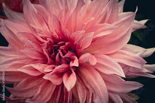Poster de jardin Dahlia fleur dahlia en couleur rose et blanc en vue horizontale le matin dans un jardin