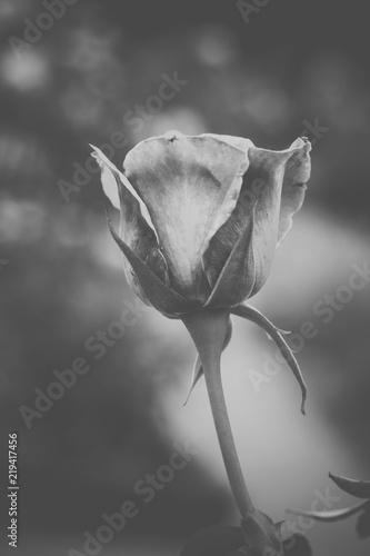 Fleur Rose De Couleur Rose En Noir Et Blanc En Gros Plan En Ete