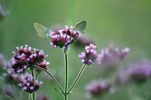 Butterflies Feeding On Purple ...