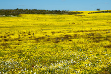 Yellow Wildflowers In The Mid ...