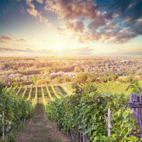 Fototapeta winnica   bardzo-szerokie-ujecie-panoramiczne-letniej-winnicy-o-zachodzie-slonca