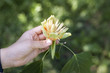 The woman holds the flower in the tulip tree