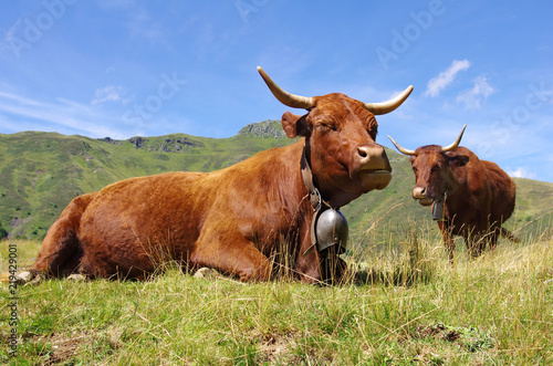 Vaches de race Salers en estive dans les monts du cantal Canvas Print