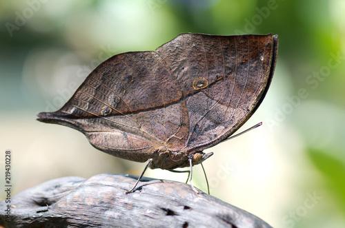Photo Gros plan sur un papillon feuille nommé kallima