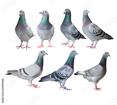 mixed of speed racing pigeon bird isolated white background