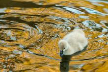 Baby Black Swan Cygnet