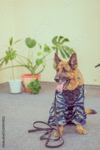 Foto  service dog breed shepherd in overalls protective color in the classroom with pe