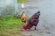 Homemade brown chickens walking on the road in the village