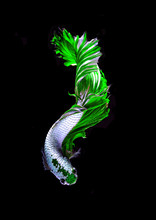 Green Dragon Siamese Fighting Fish, Betta Fish Isolated On Black Background.