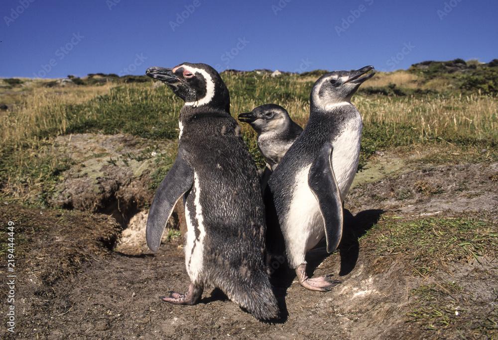 Manchot de Magellan, nid, terrier, jeune et adulte,.Spheniscus magellanicus, Magellanic Penguin, Iles Falkland