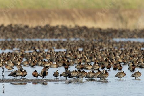 Fototapety, obrazy: Dendrocygne veuf,.Dendrocygna viduata, White faced Whistling Duck