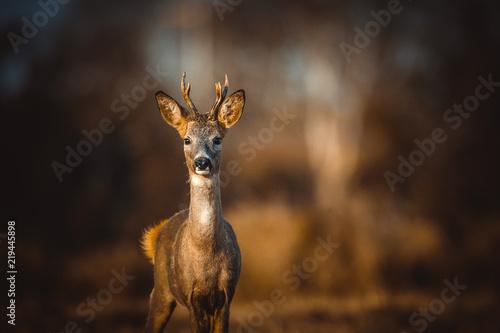 Fotografía Roe deer