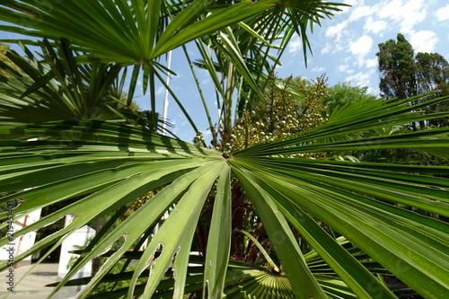 Keuken foto achterwand Bamboo Пальмы в Хосте. Сочинский район.