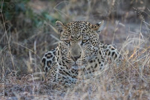 Tuinposter Luipaard Male leopard