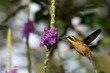 Stripe-throated Hermit - Phaethornis striigularis, hovering next to violet flower in garden, bird from mountain tropical forest, Costa Rica, natural habitat, beautiful hummingbird, wildlife, nature