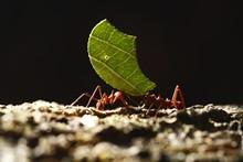 Leaf-cutter Ants - Atta Cephal...