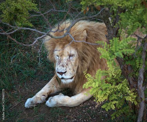 Staande foto Leeuw Lion in a zoo