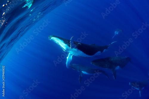 Fototapeta premium Humbak pod wodą w Polinezji Francuskiej Moorea