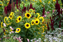 Rural Flower Bed./Big Bright Flower Bed With Sunflowers And Decorative Amaranths.