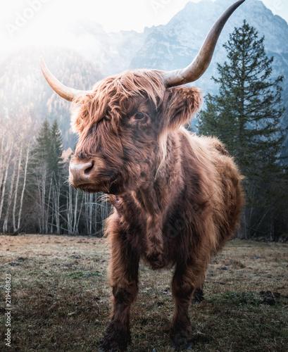 Spoed Fotobehang Schotse Hooglander Beautiful horned Highland Cattle enjoying the Sunrise on a Frozen Meadow in the Italian Dolomites