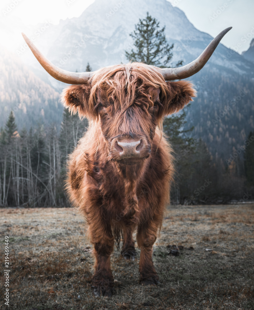 Fototapeta Beautiful horned Highland Cattle enjoying the Sunrise on a Frozen Meadow in the Italian Dolomites