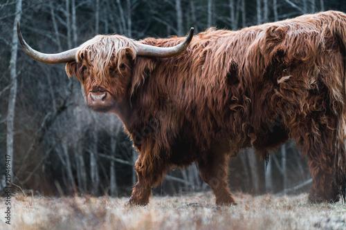 Spoed Fotobehang Schotse Hooglander Beautiful Highland Cattle grazing on a frozen Meadow in a Forest