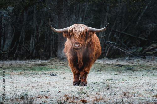Spoed Fotobehang Schotse Hooglander Beautiful Highland Cattle standing alone on a frozen Meadow in front of a Forest in a cold Morning