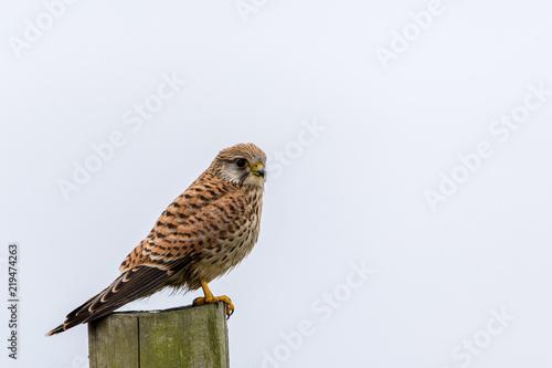 Poster Owl Turmfalke rastend auf einem Pfahl