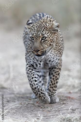 Foto auf Acrylglas Bestsellers leopard