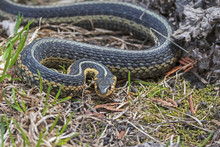Common Garter Snake In An Agre...