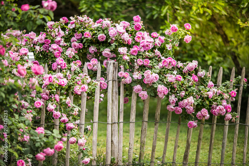 Fotografering roses on the fence