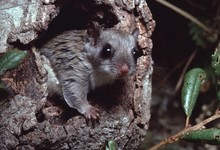 Southern Flying Squirrel (Glau...
